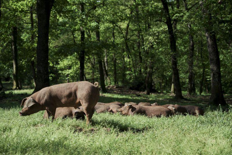 Porcs casolans Corominas
